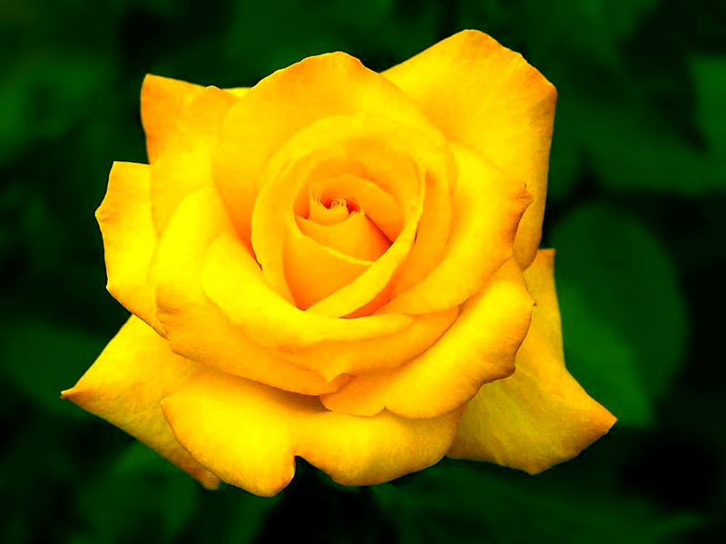 صورة اجمل صور للورد , اعمل خلفية مميزة لموبيلك من اروع الازهار
