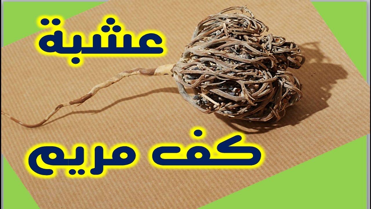 صورة فوائد عشبة كف مريم , ماهي الفوائد الصحية للاعشاب كف مريم