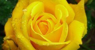 ورد اصفر , صور ورد باللون الاصفر