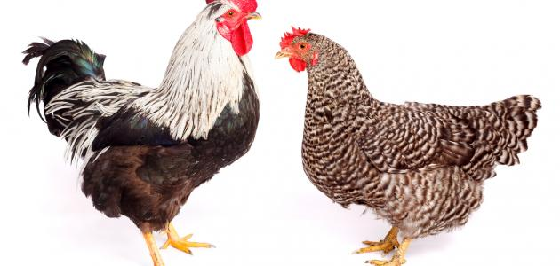 صورة ذبح الدجاج في المنام , تفسير من راى نفسه يذبح فراخ