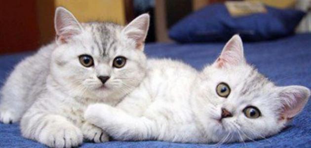 صورة اضرار القطط على الحامل , هل تسبب القطة مخاطر علي المراة