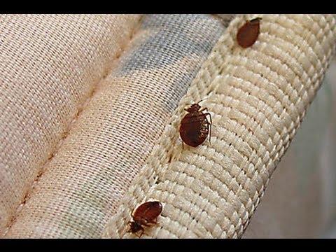 صوره طريقة القضاء على البق , كيفية تخلص من حشرة البق