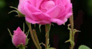 صوره الورد جميل , كوكب الشرق