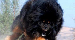 اجمل الكلاب , اشرس 10 كلاب بالفيديو