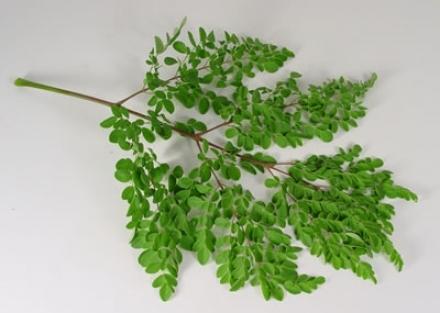 صورة فوائد نبات المورينجا , اعرف اكتر مع المورينجا