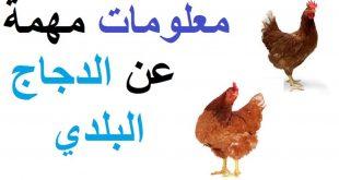 صوره معلومات عن الدجاج , اهم معلومة صحية يجب معرفتها عن الفراخ