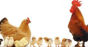 الفراخ في الحلم , تفسير رؤيه الدجاج او الفراخ فى المنام