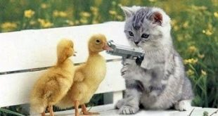 بالصور اضحك مع القطط , احلى مقاطع مضحكة عن القطط 2901 2 310x165