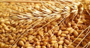 ما هو جنين القمح , ماهو جنين القمح وماهي اهم فوائده الصحية