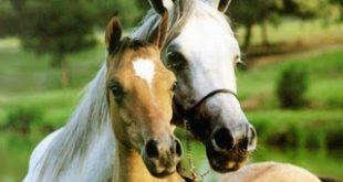 صوره صور خيول جميله , اجمل صوره لاقوى خيل
