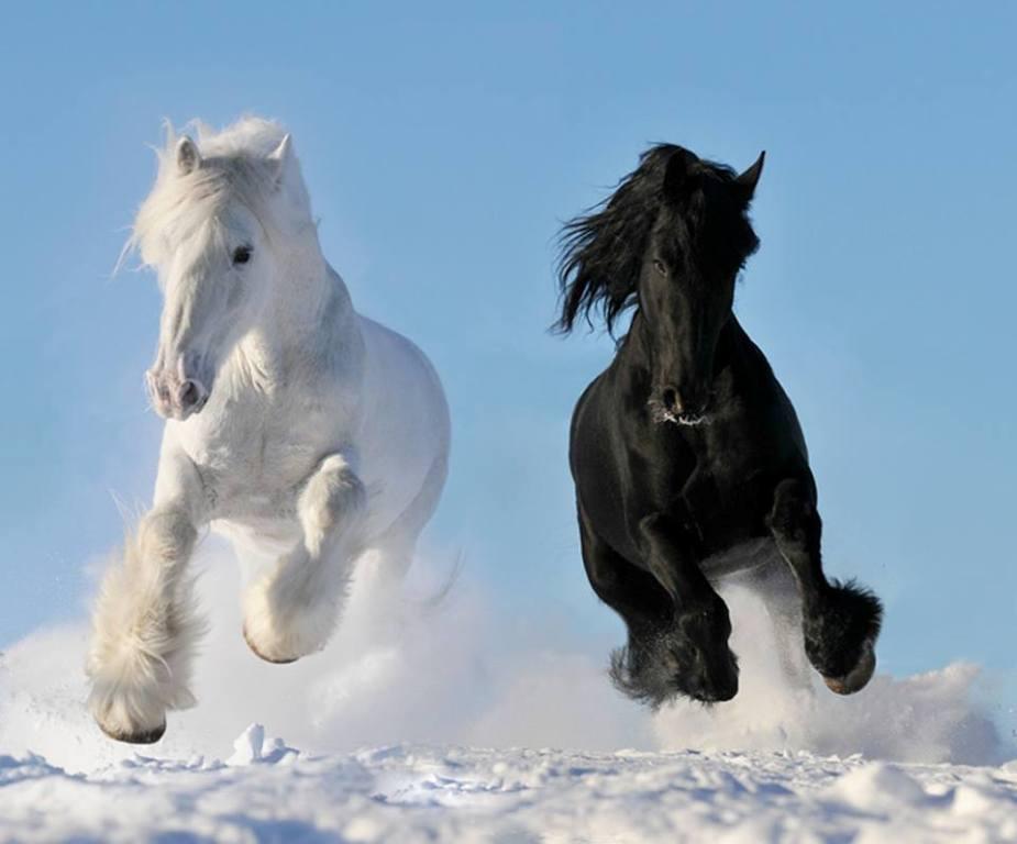 بالصور صور خيول جميله , اجمل صوره لاقوى خيل 3182 6