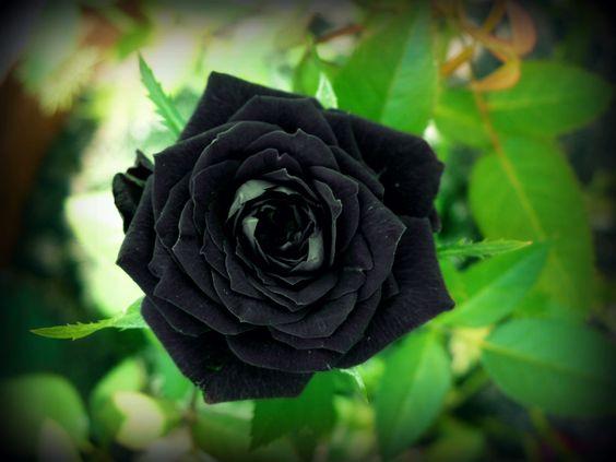 بالصور ورد اسود طبيعي , اجمل خلفيات زهور بالون الاسود رائعة 4058 3