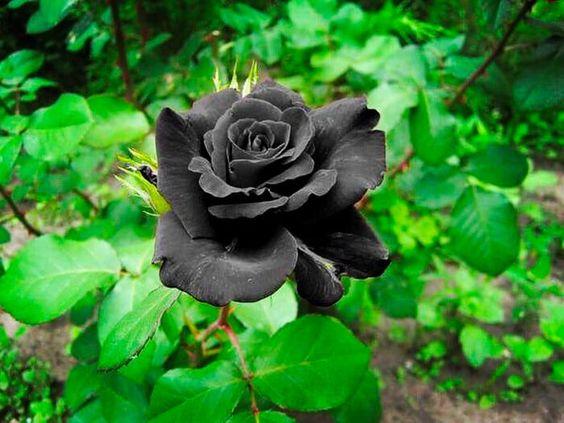 بالصور ورد اسود طبيعي , اجمل خلفيات زهور بالون الاسود رائعة 4058 4