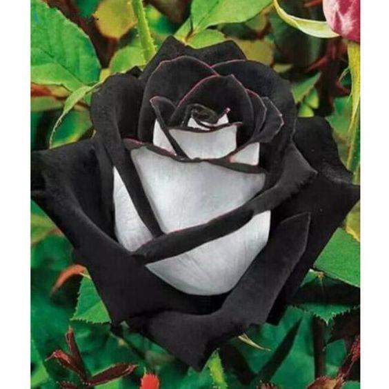 بالصور ورد اسود طبيعي , اجمل خلفيات زهور بالون الاسود رائعة 4058 5