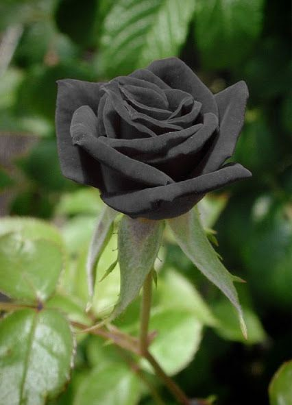 بالصور ورد اسود طبيعي , اجمل خلفيات زهور بالون الاسود رائعة 4058 6