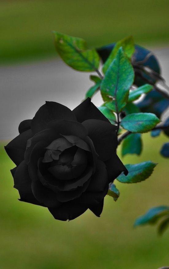 بالصور ورد اسود طبيعي , اجمل خلفيات زهور بالون الاسود رائعة 4058 7