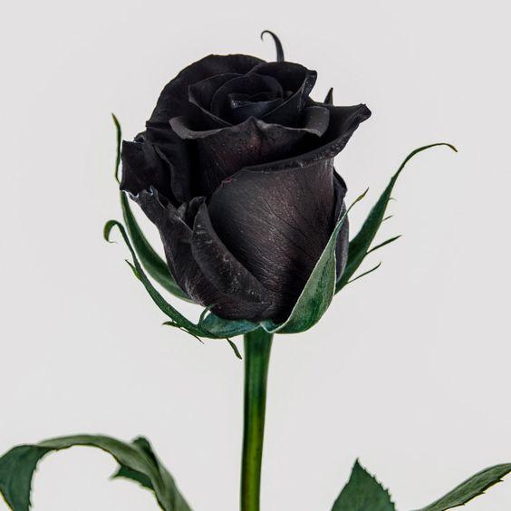 بالصور ورد اسود طبيعي , اجمل خلفيات زهور بالون الاسود رائعة 4058 8