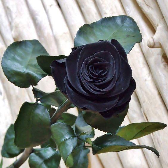 بالصور ورد اسود طبيعي , اجمل خلفيات زهور بالون الاسود رائعة 4058 9