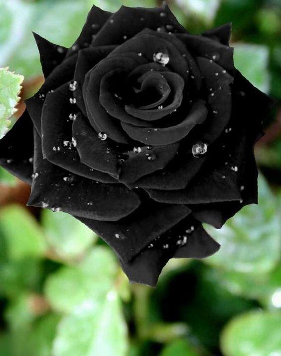 بالصور ورد اسود طبيعي , اجمل خلفيات زهور بالون الاسود رائعة 4058