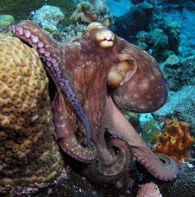 بالصور صور اخطبوط , احلى خلفيات طبيعة للاخطبوط تحت الماء 4073 10