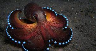 صوره صور اخطبوط , احلى خلفيات طبيعة للاخطبوط تحت الماء