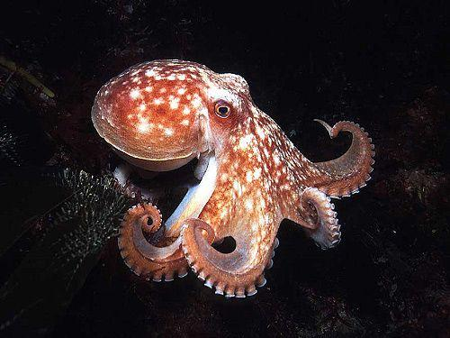 بالصور صور اخطبوط , احلى خلفيات طبيعة للاخطبوط تحت الماء 4073 2