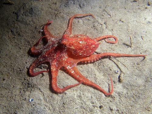 بالصور صور اخطبوط , احلى خلفيات طبيعة للاخطبوط تحت الماء 4073 3