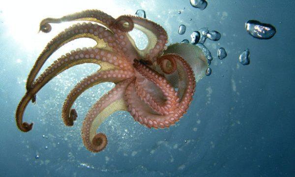 بالصور صور اخطبوط , احلى خلفيات طبيعة للاخطبوط تحت الماء 4073 8