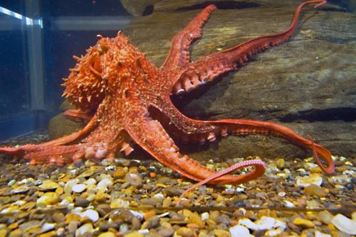 بالصور صور اخطبوط , احلى خلفيات طبيعة للاخطبوط تحت الماء 4073 9