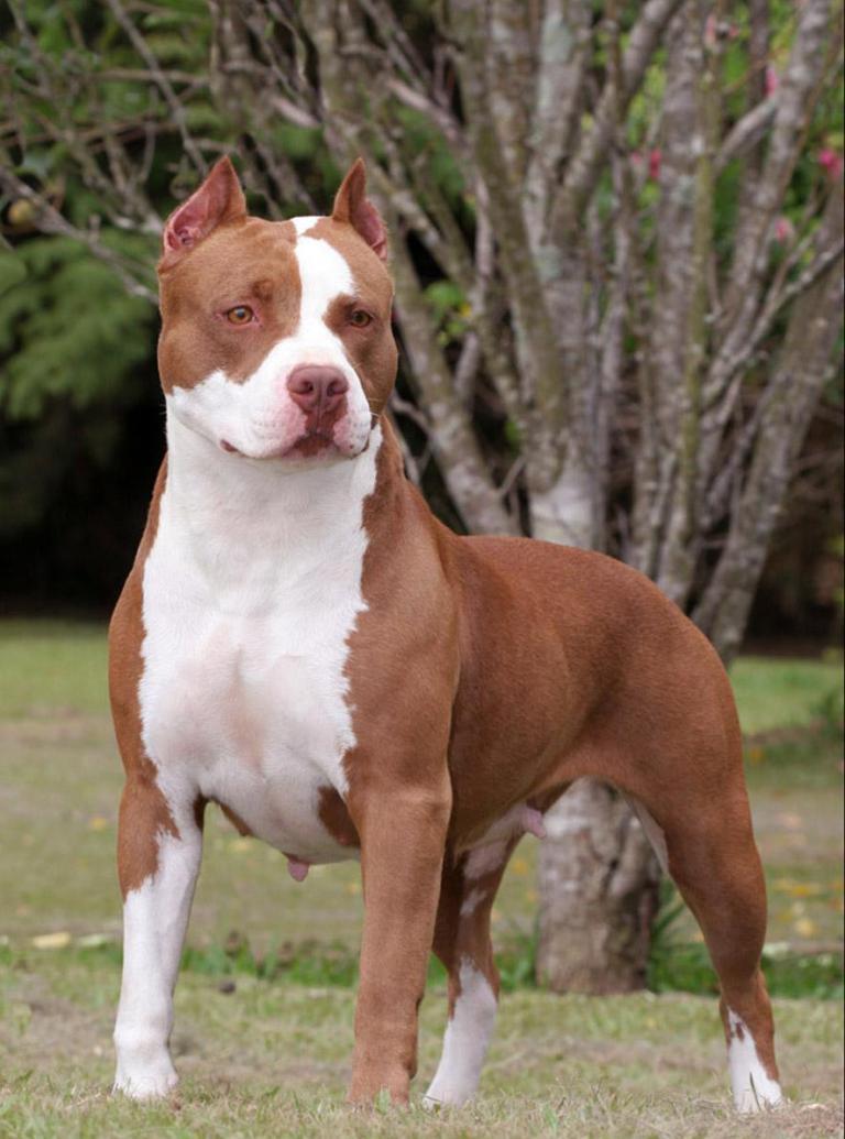 بالصور صور كلاب بيتبول , بالصور كلاب بيت بول الخطير 4883 5