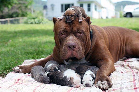 بالصور صور كلاب بيتبول , بالصور كلاب بيت بول الخطير 4883 6