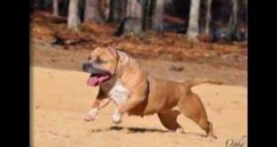 صور كلاب بيتبول , بالصور كلاب بيت بول الخطير