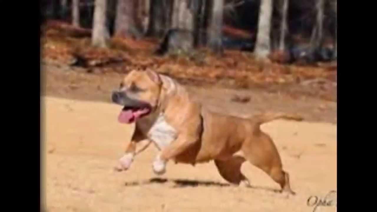 بالصور صور كلاب بيتبول , بالصور كلاب بيت بول الخطير 4883