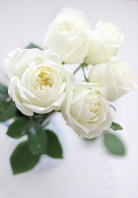 بالصور صور ورد ابيض , اجمل زهور بيضاء للرسائل 4503 3