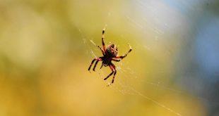 رؤية العنكبوت في المنام , تفسير رؤية العنكبوت في الحلم