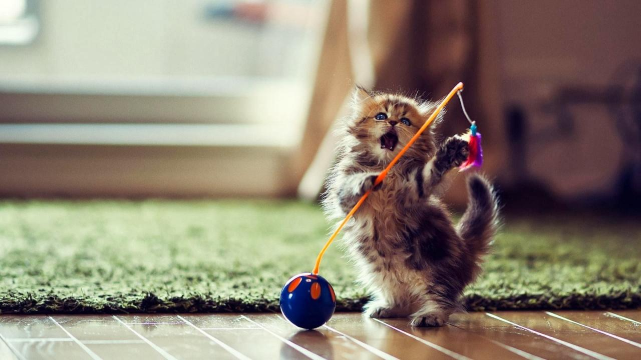 بالصور احلى صور قطط , معلومات هامة عن القطط 12872 1