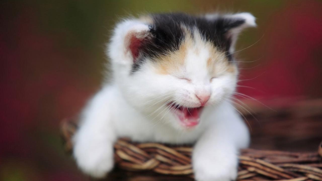 بالصور احلى صور قطط , معلومات هامة عن القطط 12872 3