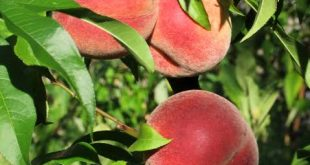 صورة فاكهة بحرف الدال , تعرف علي اسم الفاكهه التي تبدا بحرف الدال