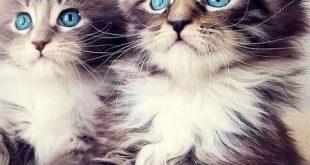 صور اصوات القطط ومعانيها , تعرف علي ما تعنية اصوات القطط