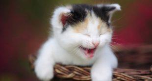 بالصور معلومات عن تربية القطط , اهم الارشادات التي يجب معرفتها قبل تربية القطط unnamed file 34 310x165