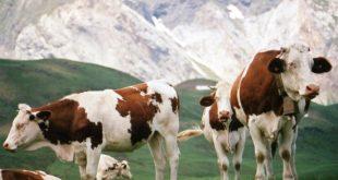 بالصور تفسير حلم البقرة تلاحقني , تعرف علي معني رؤية البقرة في المنام unnamed file 358 310x165