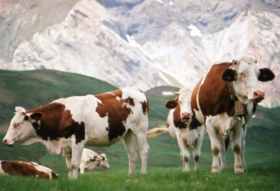 صورة تفسير حلم البقرة تلاحقني , تعرف علي معني رؤية البقرة في المنام