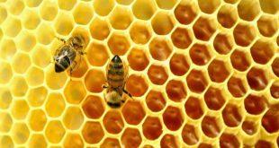 بالصور ما افضل اوقات جني عسل النحل , تعرف علي افضل مواقيت لجني عسل النحل unnamed file 425 310x165