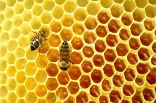 بالصور ما افضل اوقات جني عسل النحل , تعرف علي افضل مواقيت لجني عسل النحل unnamed file 425 310x205