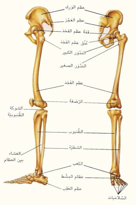 صورة ماهي اطول عظمة في جسم الانسان , تعرف علي اهمية اطول عظمة في جسم الانسان