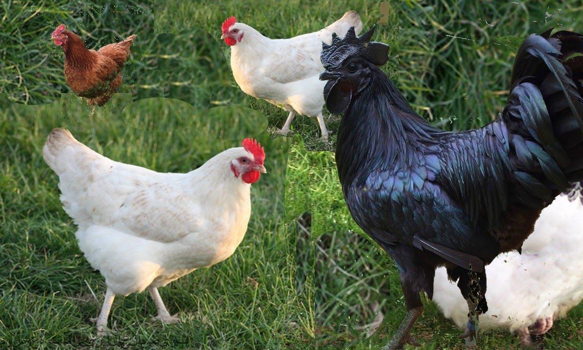 صورة تفسير رؤية الدجاج في المنام , افضل تفسير لرؤيه الدجاج فى المنام