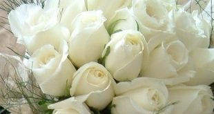 صورة ورد ابيض , صور ورود بيضاء جديدة