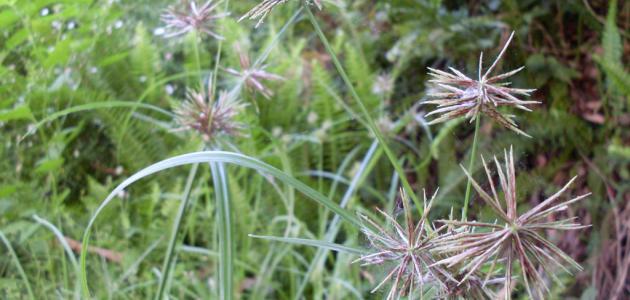 صورة فوائد نبات السعد , فوائد خرافيه لنبات السعد